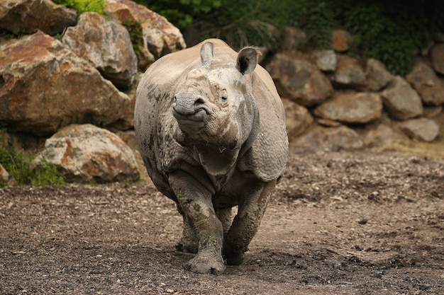 Rinoceronte indio en la hermosa naturaleza en busca de hábitat