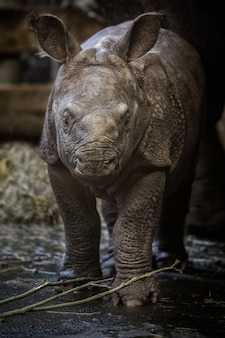 Rinoceronte indio en peligro de extinción rhinoceros unicornis