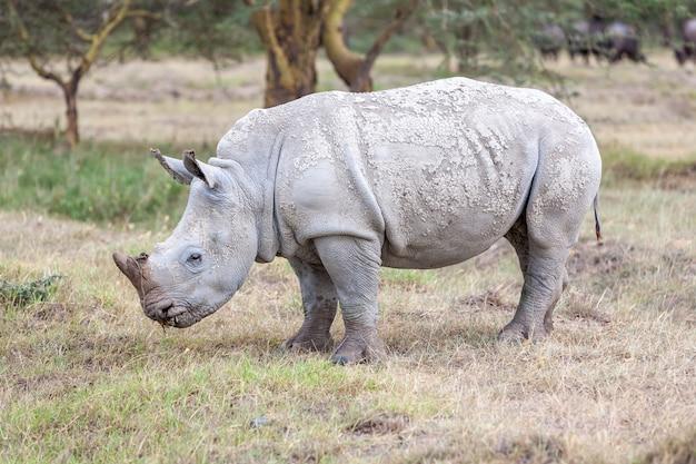 Rinoceronte en las llanuras