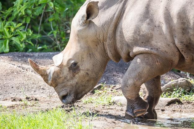 Rinoceronte que se exhibió en el zoológico.