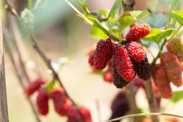 Rip mulberry frutas colgando de la planta