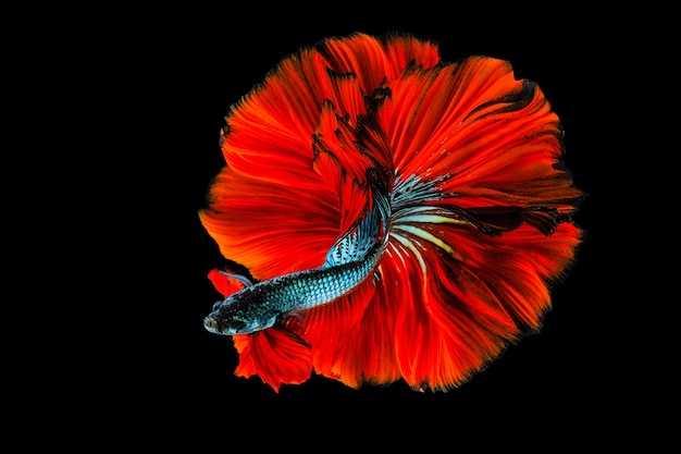 Rítmica del pez betta, pez luchador siamés betta splendens