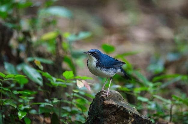 Robin azul siberiano (luscinia cyane)