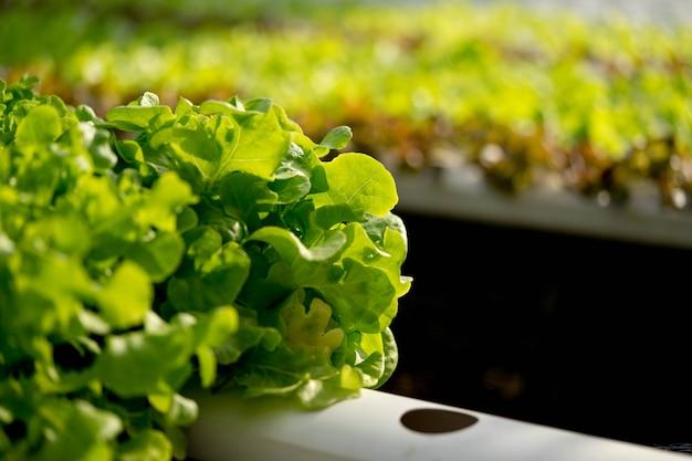 El roble verde es una hortaliza higiénica, limpia y segura de los productos químicos