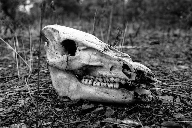 Rodada en blanco y negro de un cráneo de animal en el suelo
