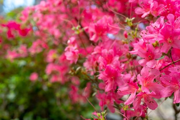 Rododendro rosado floreciente (azalea), primer, foco selectivo, espacio de la copia.