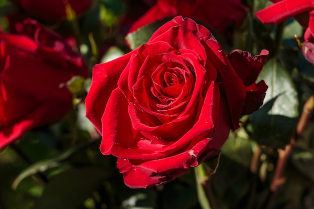 Rojo oscuro mojado rosa con gotas de agua. rosa roja en el jardín día de la boda. pétalos de rosa y corazones regalo de san valentín. frontera de la boda. ramo de feliz cumpleaños flores presentes montón grande