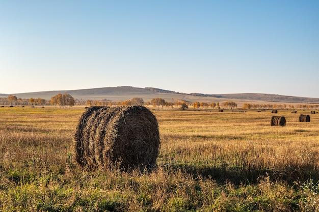 Rollo de heno fresco en el campo de otoño, alimento para el ganado