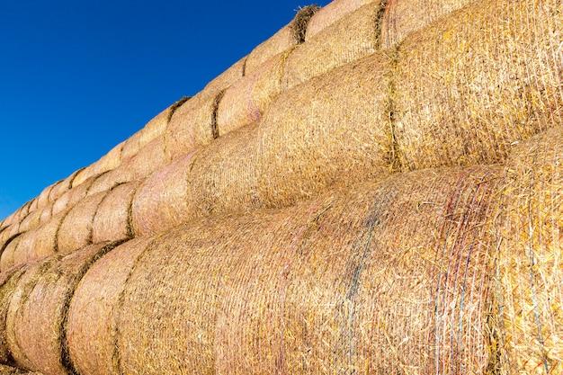 Rollos de paja de trigo cilíndricos apilados juntos para un almacenamiento conveniente
