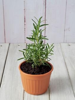 Romero orgánico plantado en macetas colocadas en un piso de madera blanco con un área de copia.