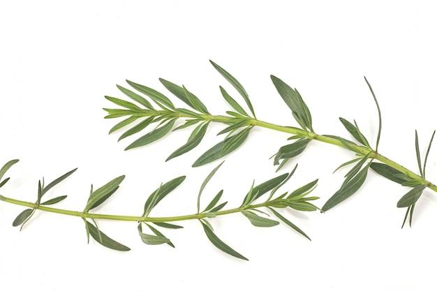 Romero verde fresco aislado en la visión blanca, superior. hierba aromática