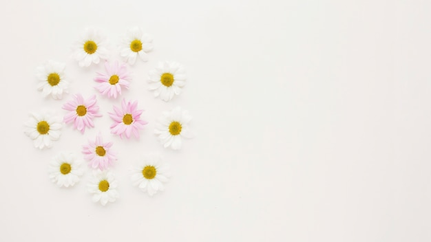 Ronda de capullos de flores de manzanilla