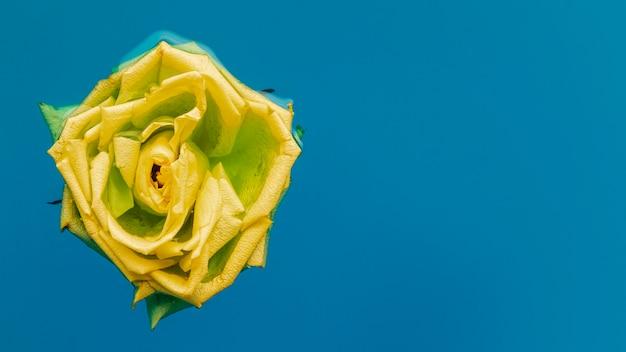 Rosa amarilla en agua con espacio de copia