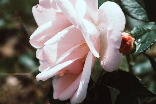 Rosa blanca con un ligero tinte rosa con gotas de lluvia.