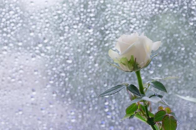 Rosa blanca en la ventana con gotas de agua