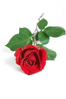 Rosa en blanco