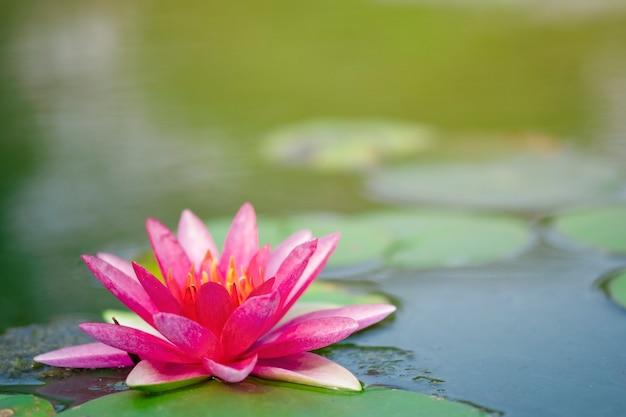 Rosa claro hermoso del lirio de agua o del loto con polen amarillo en la superficie del agua en la charca.