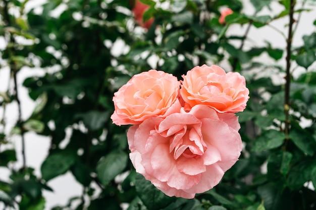 Rosa divertida en el jardín