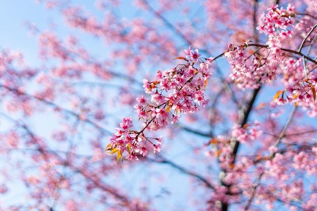 Rosa flor sukura flores en un día de primavera