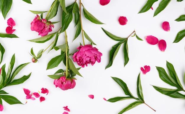 Rosa flores peonías con hojas verdes, pétalos sobre un fondo blanco.