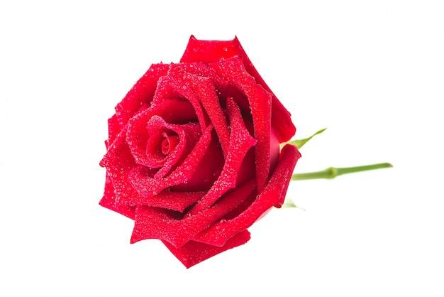 Rosa en un fondo blanco