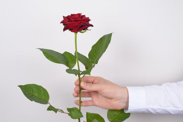 Rosa en fondo gris aislado de la mano del hombre