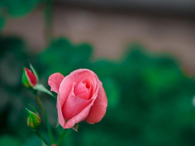 Rosa fondos para el dia de san valentin