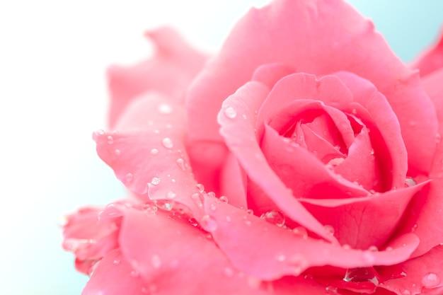 Rosa fresca con gotas de agua sobre fondo blanco