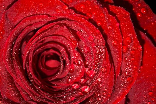 Rosa con gotas de macro