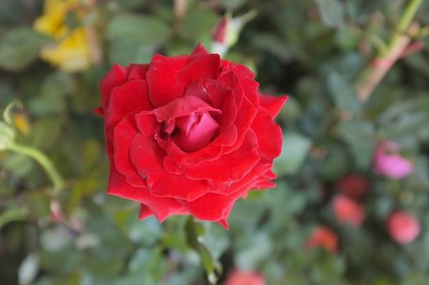 Rosa en el jardin
