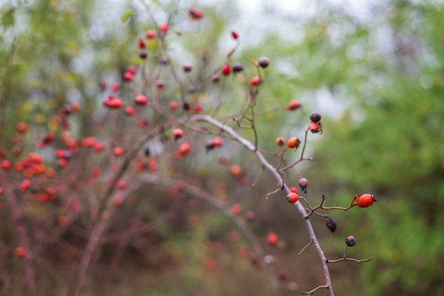 Rosa mosqueta madura en los arbustos