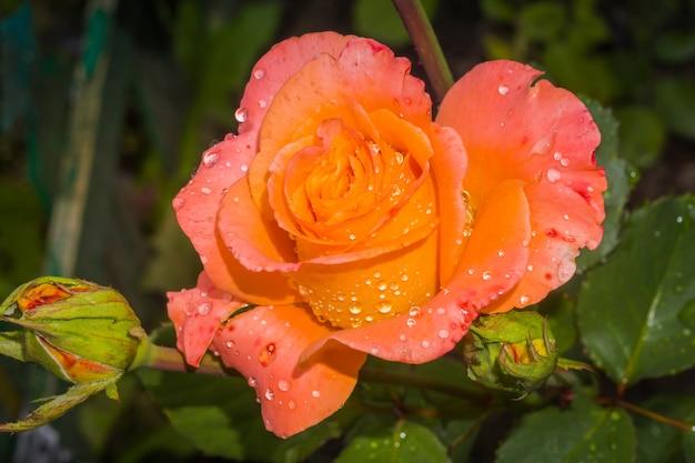 Rosa naranja con gotas de agua