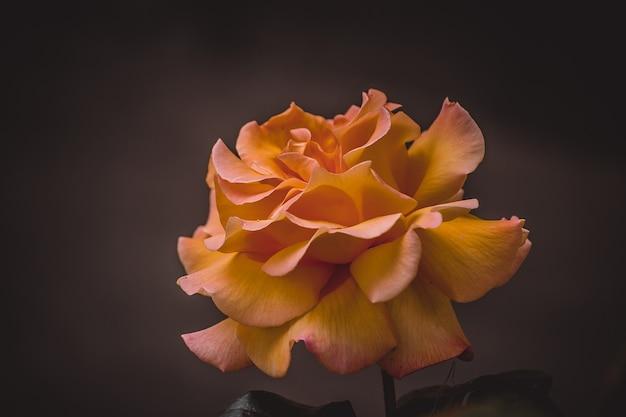 Rosa naranja sobre un fondo negro, filtro de primer plano o efecto