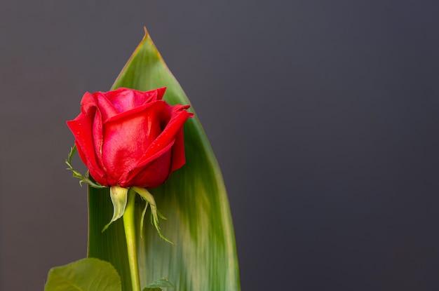 Rosa roja aislada de fondo negro, con espacio para copiar