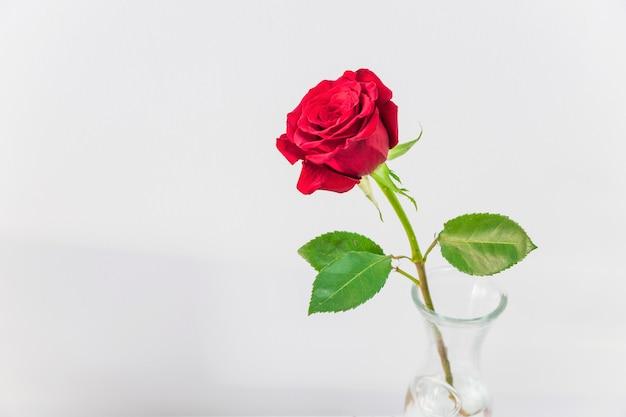 Rosa roja fresca en florero