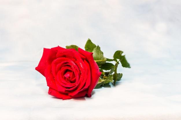Rosa roja con gotas de agua