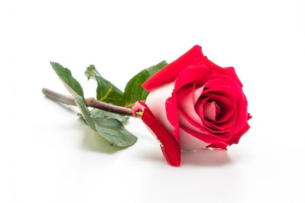 Rosa roja sobre blanco