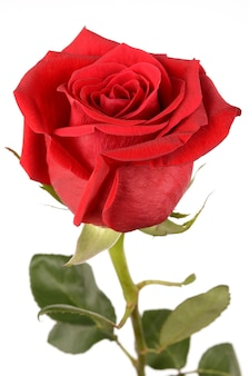 Rosa roja sobre un fondo blanco.