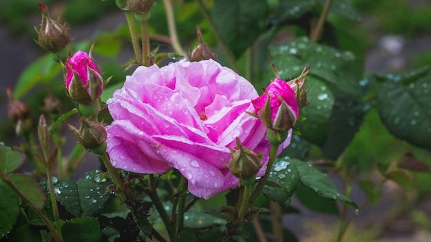 Rosa rosa, flores y capullos en el arbusto después de la lluvia_
