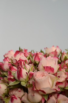 Rosa rosa sobre fondo blanco