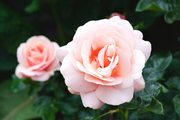 Rosa de té híbrida de afrodita en jardín inglés