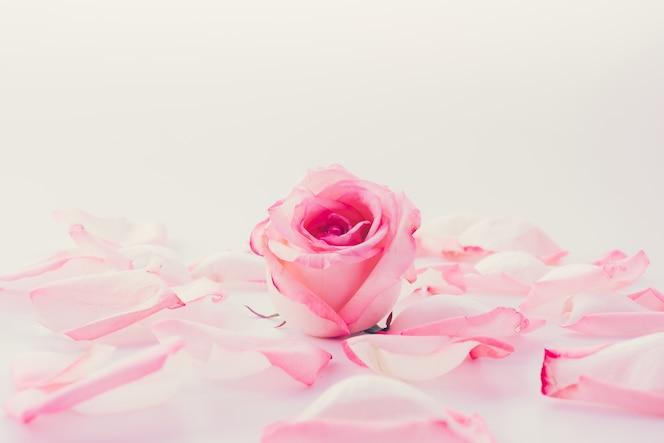 Rosa y rosa blanca con pétalo