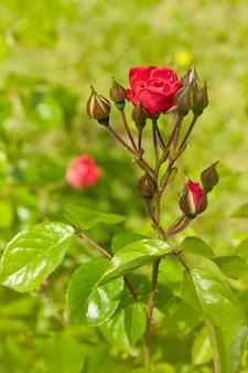 Rosal floreciente en el jardín. capullo de rosa roja y capullos en un día soleado