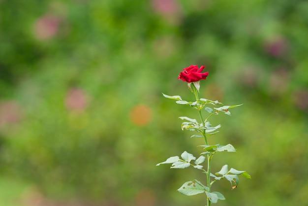 Rosas rojas en el jardín, las rosas son hermosas, fowers para el día de san valentín.