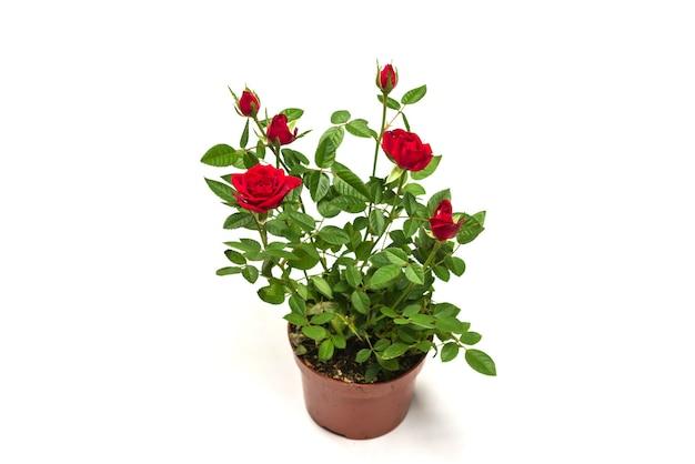 Rosas rojas en una olla aislada sobre fondo blanco.