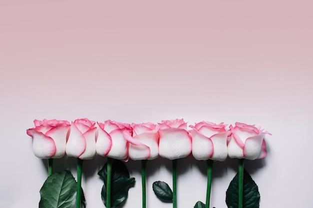 Rosas rosas sobre fondo rosa. lay flat