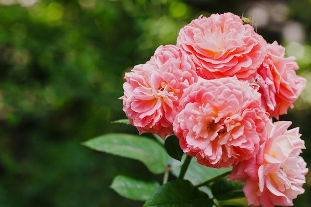 Rosas de té rosa en el jardín