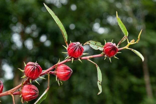 Roselle fruto en jardín, roselle fresca con hojas. hierbas, medicinas y bebidas alternativas de alimentos saludables.