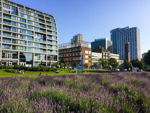 Rotterdam, países bajos de junio la arquitectura contemporánea de la ciudad de rotterdam y flores de lavanda en