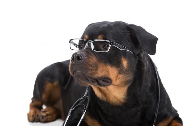 Rottweiler con estetoscopio alrededor del cuello y anteojos.